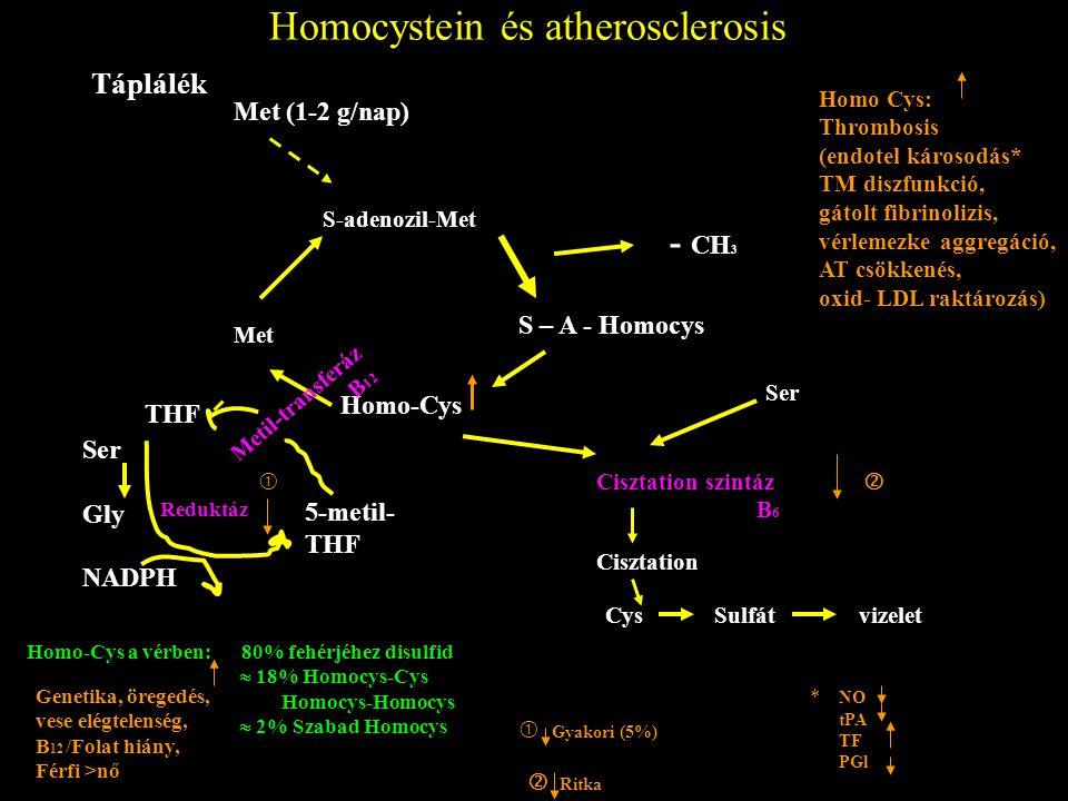 Homocystein és atherosclerosis Táplálék Met (1-2 g/nap) S-adenozil-Met Met Homo-Cys S – A - Homocys - CH 3 THF Ser Gly NADPH 5-metil- THF Metil-transferáz B 12 Reduktáz  Cisztation szintáz B 6 Cisztation Cys Sulfát vizelet Ser  Homo-Cys a vérben: 80% fehérjéhez disulfid  18% Homocys-Cys Homocys-Homocys  2% Szabad Homocys Genetika, öregedés, vese elégtelenség, B 12 /Folat hiány, Férfi >nő  Gyakori (5%)  Ritka Homo Cys: Thrombosis (endotel károsodás* TM diszfunkció, gátolt fibrinolizis, vérlemezke aggregáció, AT csökkenés, oxid- LDL raktározás) NO tPA TF PGl *