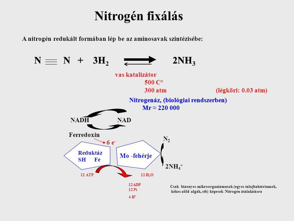Az ammónia Glu-ba és Gln-ba épül be (minden organizmusban) COOH C O CH 2 COOH =  -keto glutarát NH 4 H2OH2O Glutamát dehidrogenáz + Gln NADPH NADP Glutamát szintáz (prokariotákban) 2Glu Glutamin szintetáz ATP ADP Pi NADPH COOH C NH 2 CH 2 COOH H NH 4 COOH C NH 2 CH 2 C – NH 2 H O =
