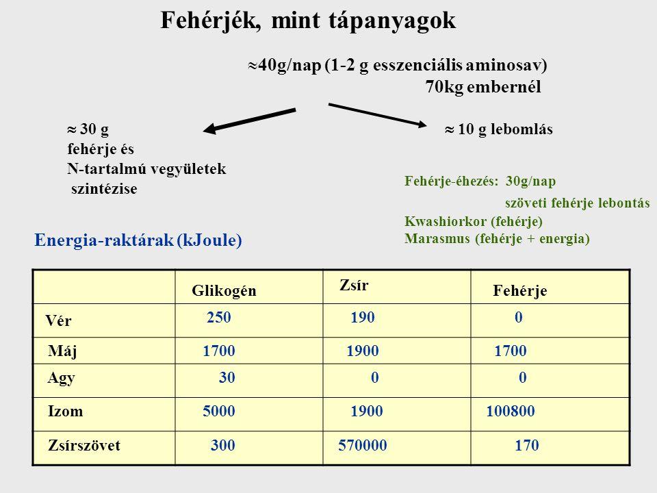 Fehérjék, mint tápanyagok  40g/nap (1-2 g esszenciális aminosav) 70kg embernél  30 g fehérje és N-tartalmú vegyületek szintézise  10 g lebomlás Fehérje-éhezés: 30g/nap szöveti fehérje lebontás Kwashiorkor (fehérje) Marasmus (fehérje + energia) Energia-raktárak (kJoule) 250 190 0 Máj 1700 1900 1700 Agy 30 0 0 Izom 5000 1900 100800 Zsírszövet 300 570000 170 Glikogén Zsír Fehérje Vér