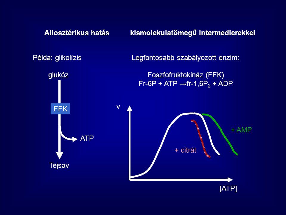 Ca 2+ -Calmodulin konformációváltozás Konformációváltozás a másik alegységen levő katalítikus helyen aktiválódás    Katalítikus alegység Inaktív Aktív      Ca 2+ Allosztérikus hatásfehérjetermészetű anyagokkal Calmodulin (Ca 2+ hatást modulál) Egyéb szabályozás Glikogén foszforiláz kináz