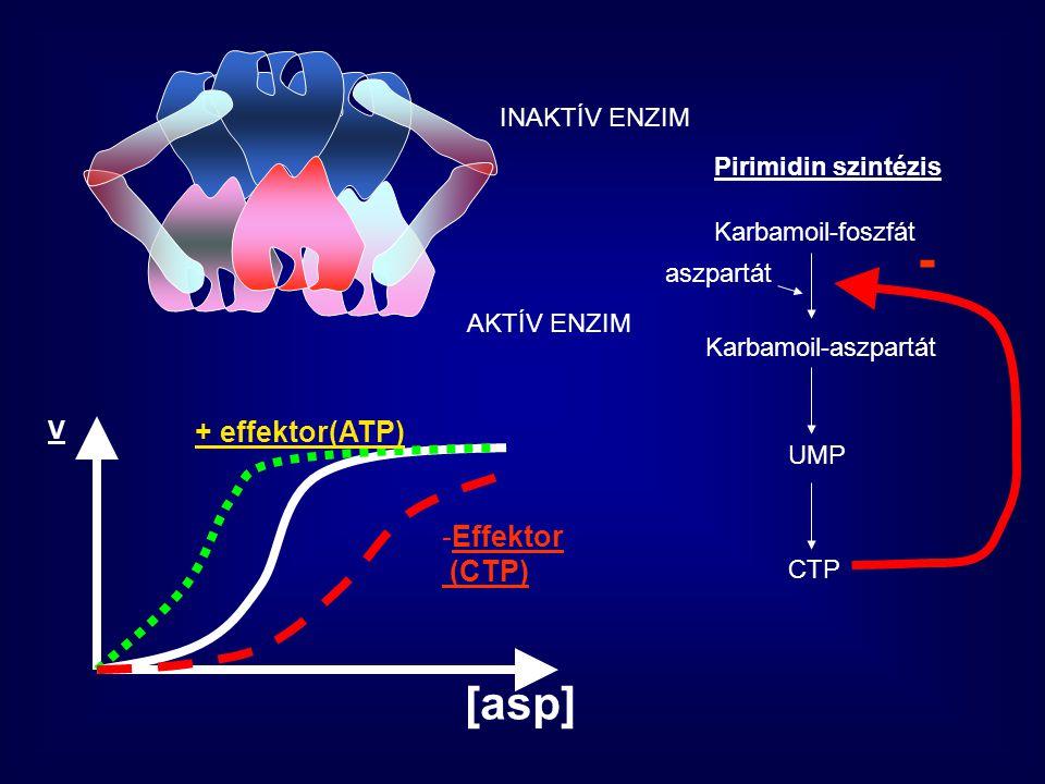 INAKTÍV ENZIM Pirimidin szintézis Karbamoil-foszfát aszpartát Karbamoil-aszpartát UMP CTP - AKTÍV ENZIM + effektor(ATP) -Effektor (CTP) V [asp]