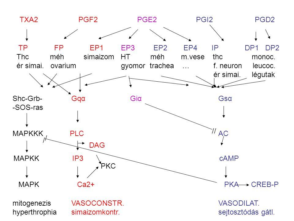 TXA2PGF2PGE2PGI2PGD2 TP FP EP1 EP3 EP2 EP4 IP DP1 DP2 Thc méh simaizom HT méh m.vese thcmonoc. ér simai. ovarium gyomor trachea … f. neuron leucoc. ér