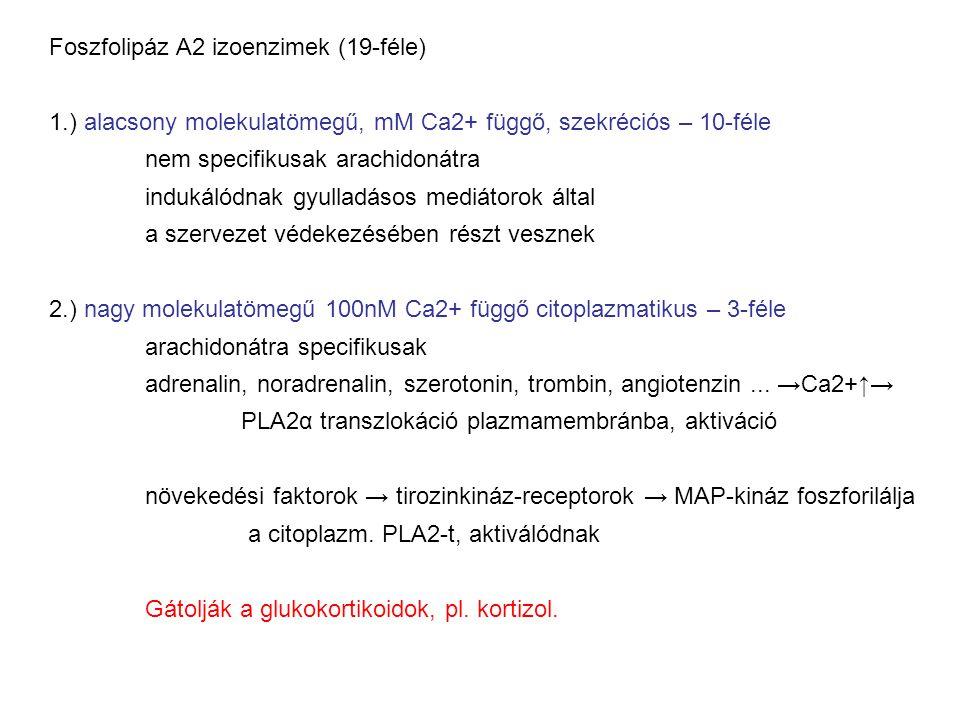 Foszfolipáz A2 izoenzimek (19-féle) 1.) alacsony molekulatömegű, mM Ca2+ függő, szekréciós – 10-féle nem specifikusak arachidonátra indukálódnak gyull