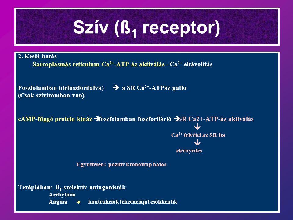 Szív (ß 1 receptor) 2.