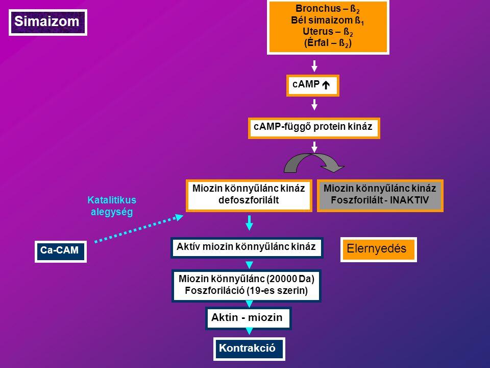 Simaizom Bronchus – ß 2 Bél simaizom ß 1 Uterus – ß 2 (Érfal – ß 2 ) cAMP  cAMP-függő protein kináz Miozin könnyűlánc kináz defoszforilált Miozin könnyűlánc kináz Foszforilált - INAKTIV Elernyedés Aktív miozin könnyűlánc kináz Miozin könnyűlánc (20000 Da) Foszforiláció (19-es szerin) Aktin - miozin Kontrakció Ca-CAM Katalitikus alegység