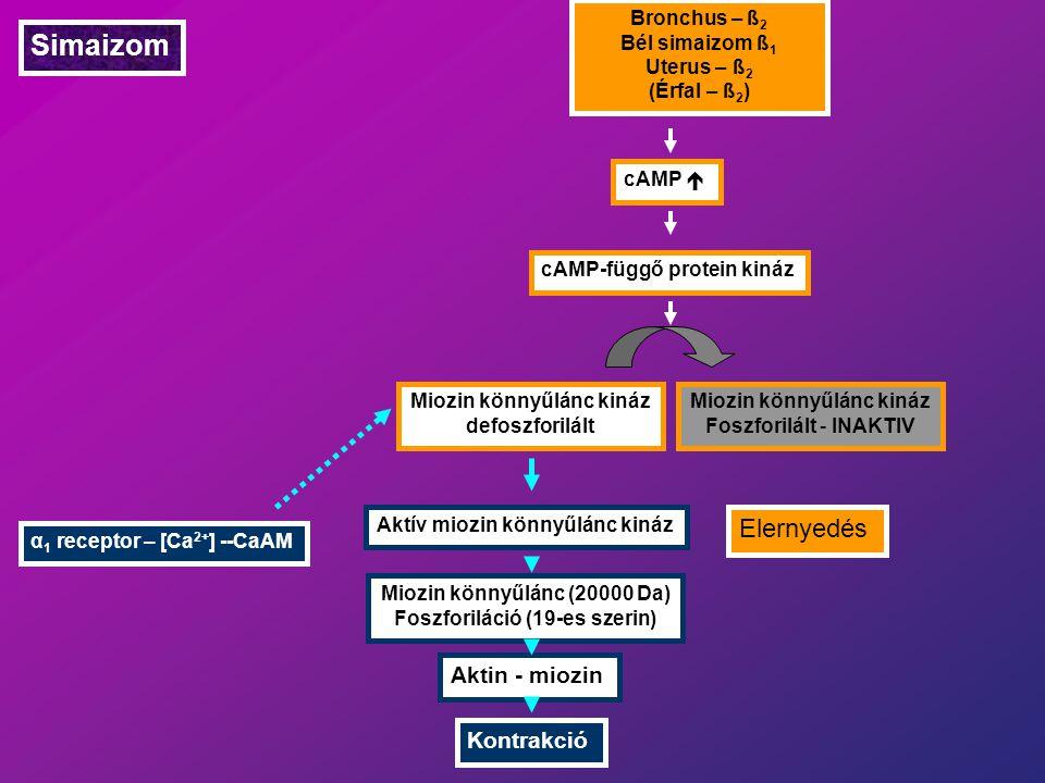 Simaizom Bronchus – ß 2 Bél simaizom ß 1 Uterus – ß 2 (Érfal – ß 2 ) cAMP  cAMP-függő protein kináz Miozin könnyűlánc kináz defoszforilált Miozin könnyűlánc kináz Foszforilált - INAKTIV Elernyedés Aktív miozin könnyűlánc kináz Miozin könnyűlánc (20000 Da) Foszforiláció (19-es szerin) Aktin - miozin Kontrakció α 1 receptor – [Ca 2+ ] --CaAM
