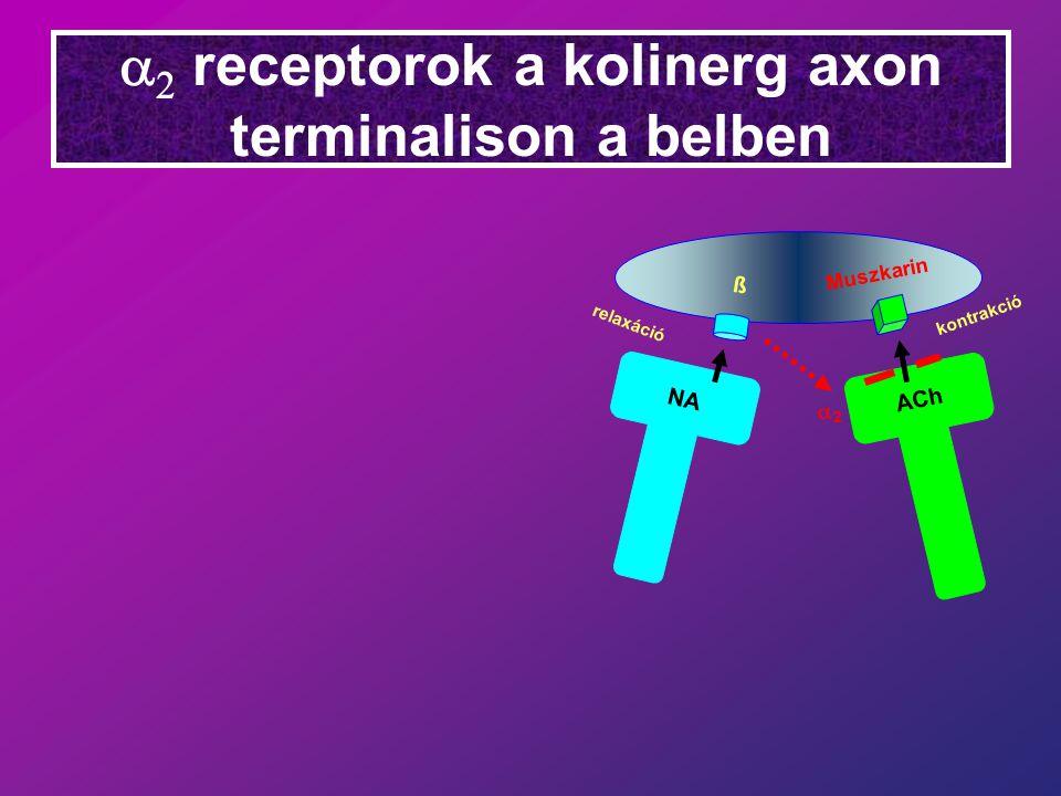   receptorok a kolinerg axon terminalison a belben NA ACh relaxáció ß Muszkarin kontrakció 22
