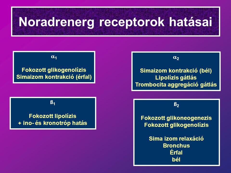 Noradrenerg receptorok hatásai  1 Fokozott glikogenolízis Simaizom kontrakció (érfal)  2 Simaizom kontrakció (bél) Lipolízis gátlás Trombocita aggregáció gátlás ß 1 Fokozott lipolízis + ino- és kronotróp hatás ß 2 Fokozott glikoneogenezis Fokozott glikogenolízis Sima izom relaxáció Bronchus Érfal bél