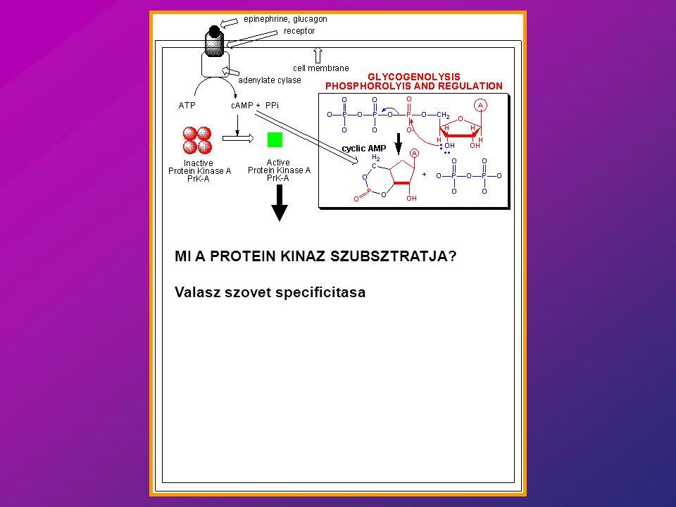 1.Mi dönti el, hogy egy sejt (szövet) reagál-e egy hormonra (H) vagy neurotranszmitterre (NT).