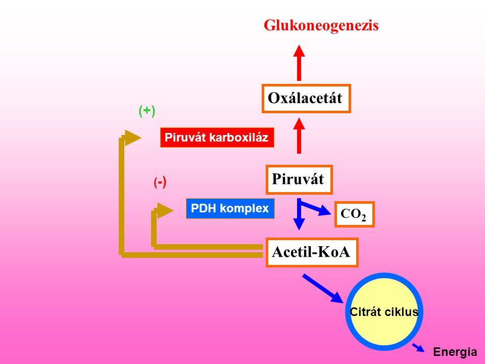 Piruvát Acetil-KoA Oxálacetát Glukoneogenezis CO 2 PDH komplex Piruvát karboxiláz Citrát ciklus Energia ( -) (+)