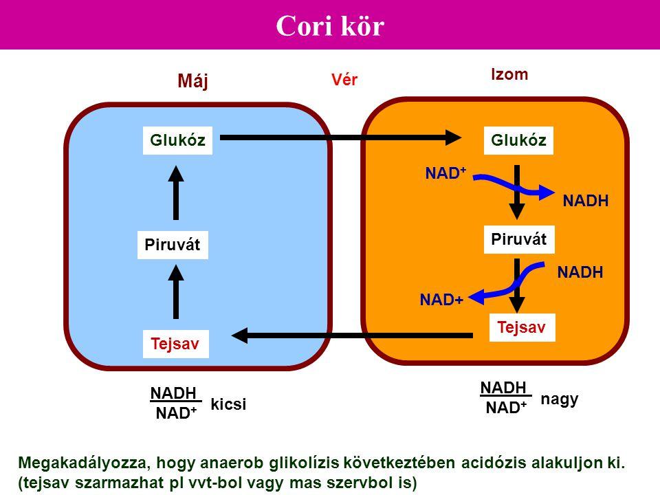 Cori kör Máj Izom Glukóz Piruvát Tejsav Vér Glukóz Piruvát Tejsav NADH NAD+ NADH NAD + nagy NADH NAD + kicsi NAD + Megakadályozza, hogy anaerob glikol