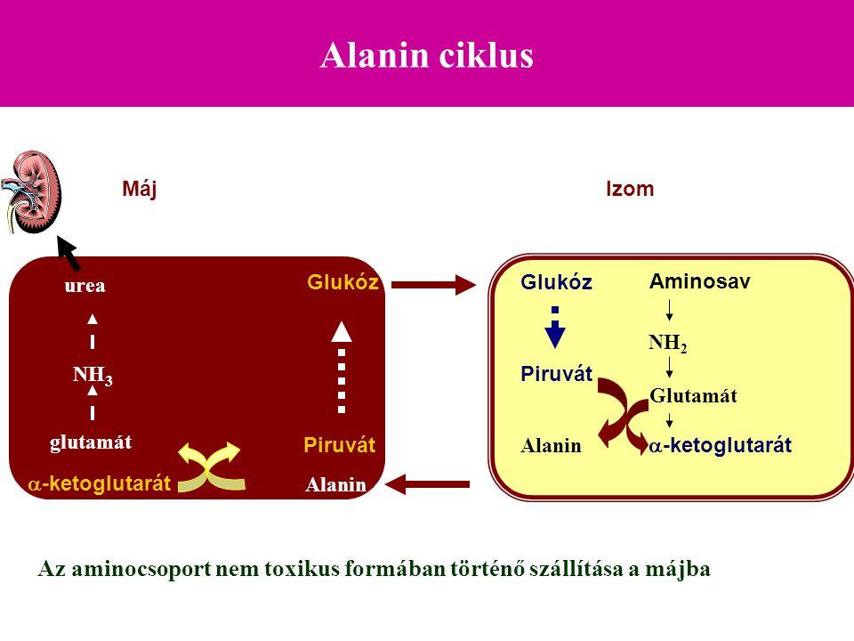 Alanin ciklus Glukóz Piruvát Alanin Piruvát MájIzom Az aminocsoport nem toxikus formában történő szállítása a májba Alanin  -ketoglutarát glutamát NH