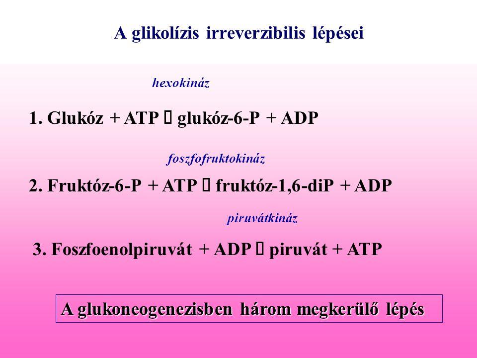 A glikolízis irreverzibilis lépései 1. Glukóz + ATP  glukóz-6-P + ADP hexokináz 2. Fruktóz-6-P + ATP  fruktóz-1,6-diP + ADP foszfofruktokináz 3. Fos