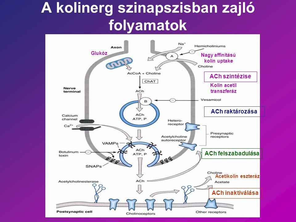 A kolinerg szinapszisban zajló folyamatok ACh szintézise ACh raktározása ACh felszabadulása Nagy affinitású kolin uptake Kolin acetil transzferáz Gluk