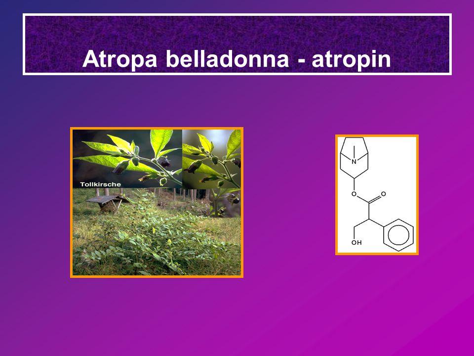 Atropa belladonna - atropin