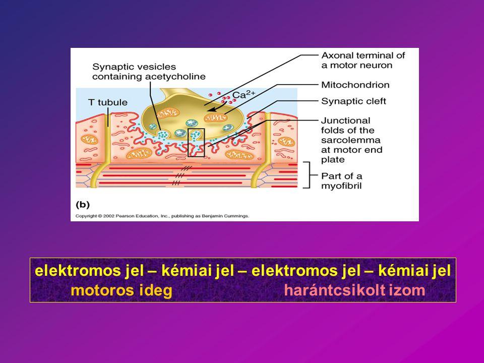 elektromos jel – kémiai jel – elektromos jel – kémiai jel motoros ideg harántcsikolt izom