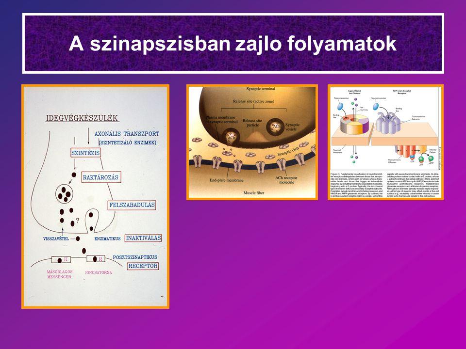 A szinapszisban zajlo folyamatok