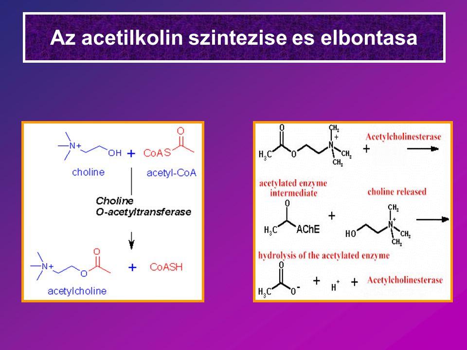 Kolinerg receptorok Muszkarin –Molekuláris hatás Intracelluláris [Ca 2+ ] emelkedés Foszfatidil inozitol –Lokalizáció Paraszimpatikus beidegzésű belső szervekben –Gátló Atropin Nikotin –Molekuláris hatás Na + és K + permeabilitás  depolarizáció –Lokalizáció Vegetatív ganglionokban Központi idegrendszerben Harántcsíkolt izomban –Gátló Curare (d-tubocurarin)