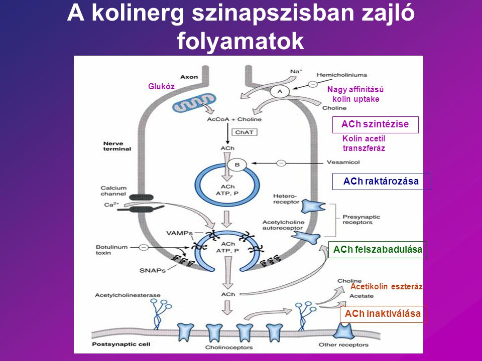 Nagy affinitasu kolin uptake - csak a kolinerg axon terminalisban Km < 5 uM Ach szintezis Kis affinitasu kolin uptake – minden sejtben Km ~ 20 uM foszfolipidek szintezisehez esszencialis