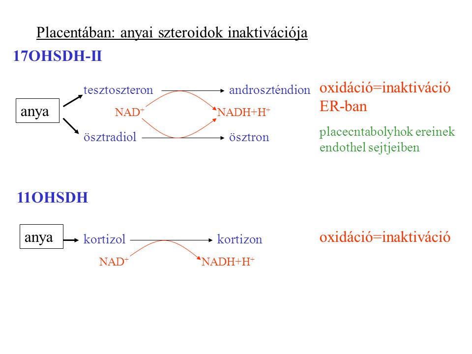 Placentában: anyai szteroidok inaktivációja 17OHSDH-II ösztronösztradiol androszténdiontesztoszteron NAD + NADH+H + oxidáció=inaktiváció ER-ban placecntabolyhok ereinek endothel sejtjeiben anya 11OHSDH anya kortizolkortizon NAD + NADH+H + oxidáció=inaktiváció