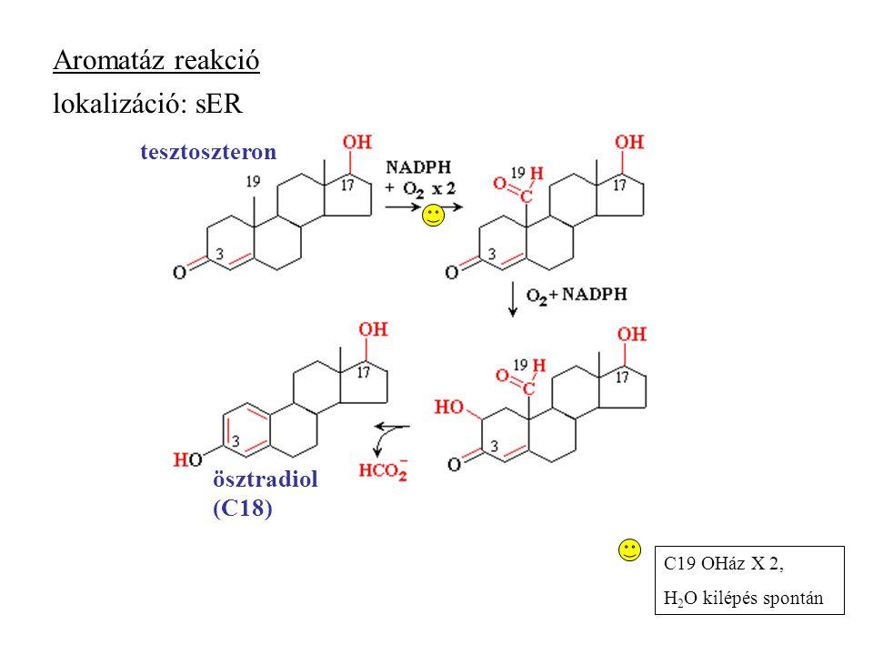 Aromatáz reakció tesztoszteron ösztradiol (C18) C19 OHáz X 2, H 2 O kilépés spontán lokalizáció: sER