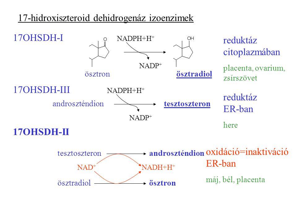 17-hidroxiszteroid dehidrogenáz izoenzimek 17OHSDH-I NADPH+H + NADP + ösztronösztradiol reduktáz citoplazmában placenta, ovarium, zsírszövet 17OHSDH-III androszténdiontesztoszteron NADPH+H + NADP + reduktáz ER-ban here 17OHSDH-II ösztronösztradiol androszténdiontesztoszteron NAD + NADH+H + oxidáció=inaktiváció ER-ban máj, bél, placenta