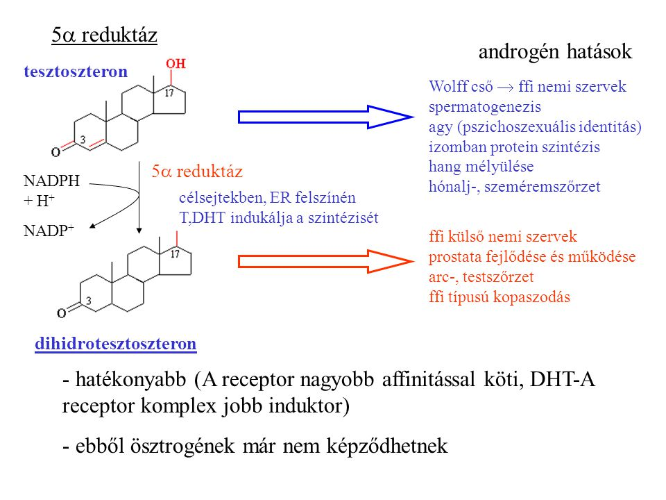 5  reduktáz tesztoszteron dihidrotesztoszteron NADPH + H + NADP + 5  reduktáz célsejtekben, ER felszínén T,DHT indukálja a szintézisét androgén hatások Wolff cső  ffi nemi szervek spermatogenezis agy (pszichoszexuális identitás) izomban protein szintézis hang mélyülése hónalj-, szeméremszőrzet ffi külső nemi szervek prostata fejlődése és működése arc-, testszőrzet ffi típusú kopaszodás - hatékonyabb (A receptor nagyobb affinitással köti, DHT-A receptor komplex jobb induktor) - ebből ösztrogének már nem képződhetnek