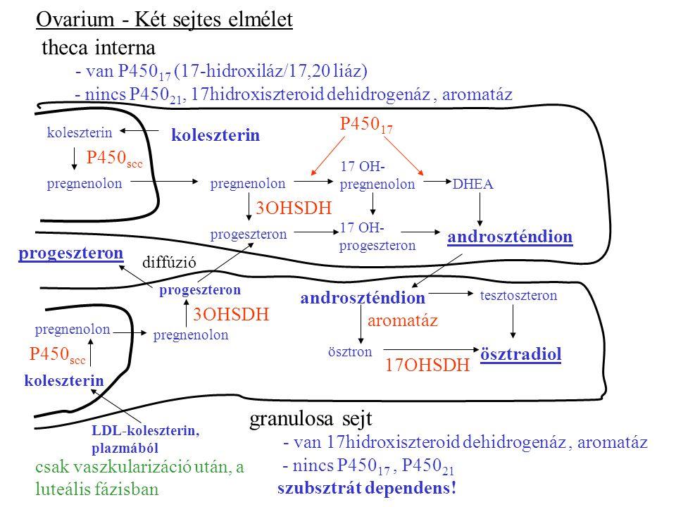 3OHSDH Ovarium - Két sejtes elmélet - van P450 17 (17-hidroxiláz/17,20 liáz) - nincs P450 21, 17hidroxiszteroid dehidrogenáz, aromatáz theca interna - van 17hidroxiszteroid dehidrogenáz, aromatáz - nincs P450 17, P450 21 szubsztrát dependens.