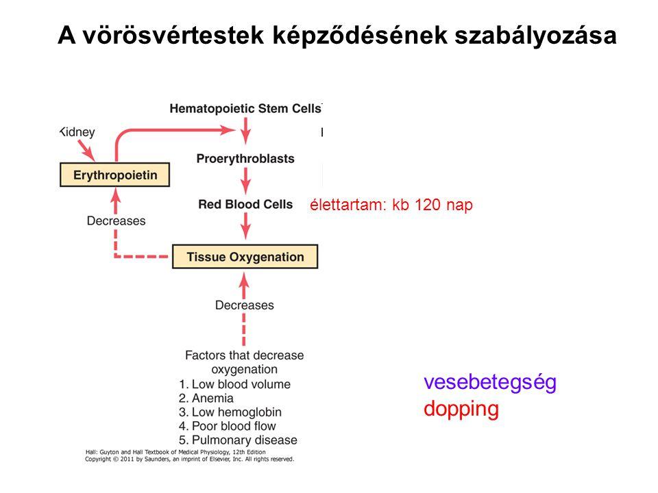 A vörösvértestek képződésének szabályozása vesebetegség dopping élettartam: kb 120 nap