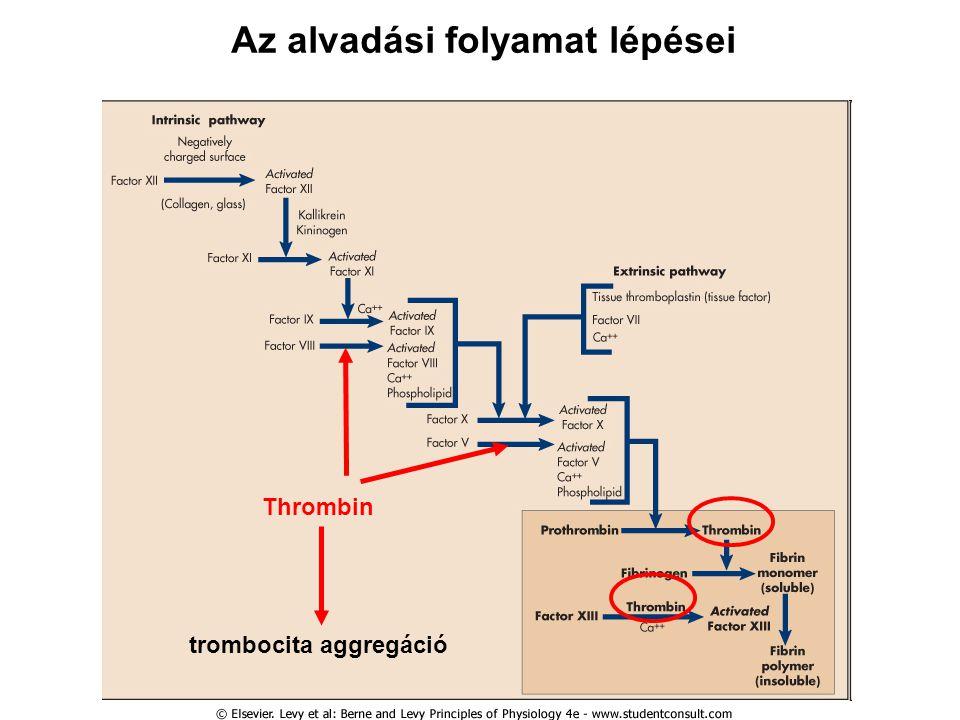Az alvadási folyamat lépései Thrombin trombocita aggregáció