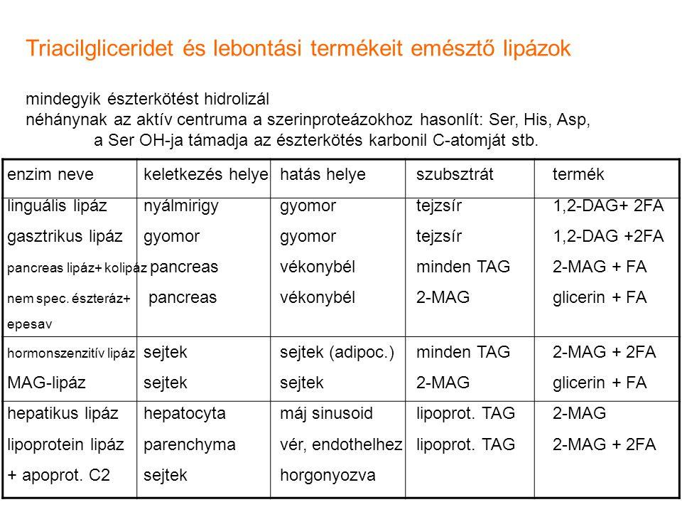 Triacilgliceridet és lebontási termékeit emésztő lipázok mindegyik észterkötést hidrolizál néhánynak az aktív centruma a szerinproteázokhoz hasonlít: