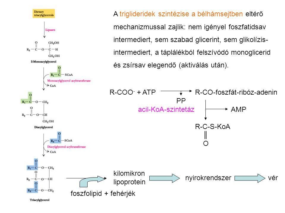 A triglideridek szintézise a bélhámsejtben eltérő mechanizmussal zajlik: nem igényel foszfatidsav intermediert, sem szabad glicerint, sem glikolízis- intermediert, a táplálékból felszívódó monoglicerid és zsírsav elegendő (aktiválás után).