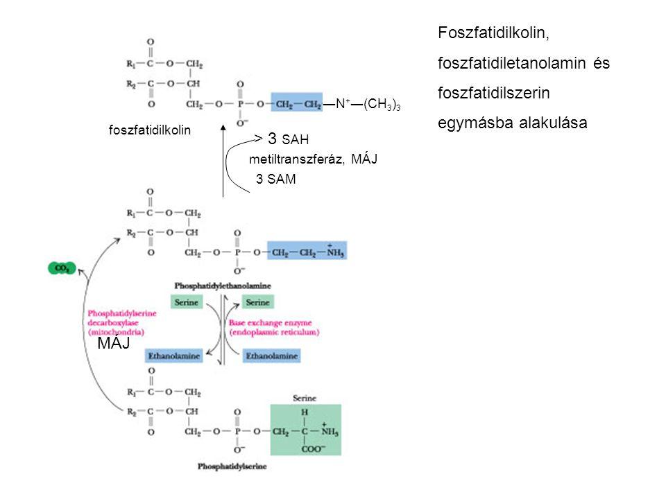 ―N + ―(CH 3 ) 3 > 3 SAH metiltranszferáz, MÁJ 3 SAM foszfatidilkolin Foszfatidilkolin, foszfatidiletanolamin és foszfatidilszerin egymásba alakulása MÁJ
