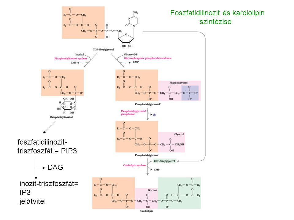 foszfatidilinozit- triszfoszfát = PIP3 inozit-triszfoszfát= IP3 jelátvitel DAG Foszfatidilinozit és kardiolipin szintézise