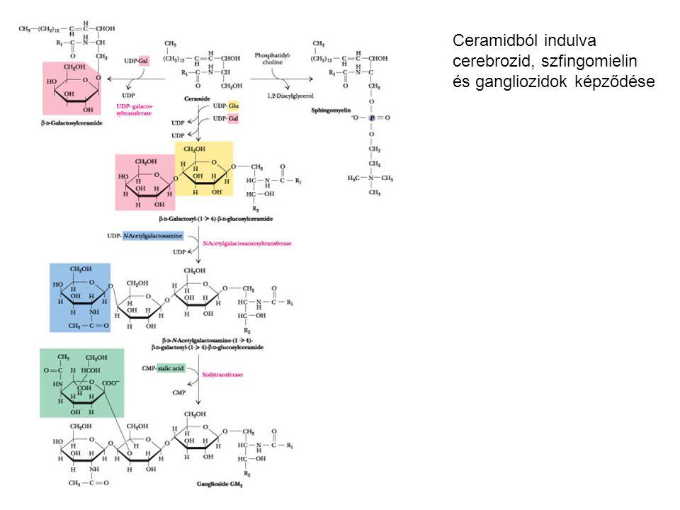 Ceramidból indulva cerebrozid, szfingomielin és gangliozidok képződése