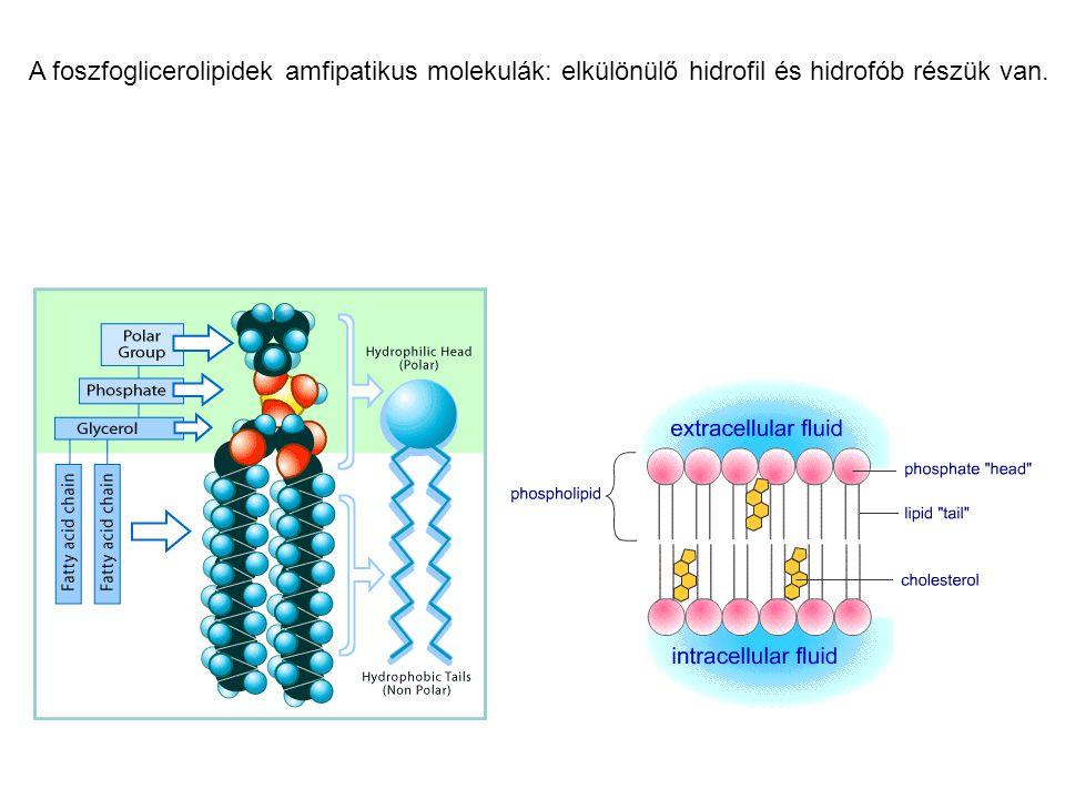 Az élőlények plazmamembránját és minden sejtorganellum membránját foszfoglicerolipidek, szfingolipidek, koleszterin (vagy hasonló vegyület) és fehérjék alkotják.