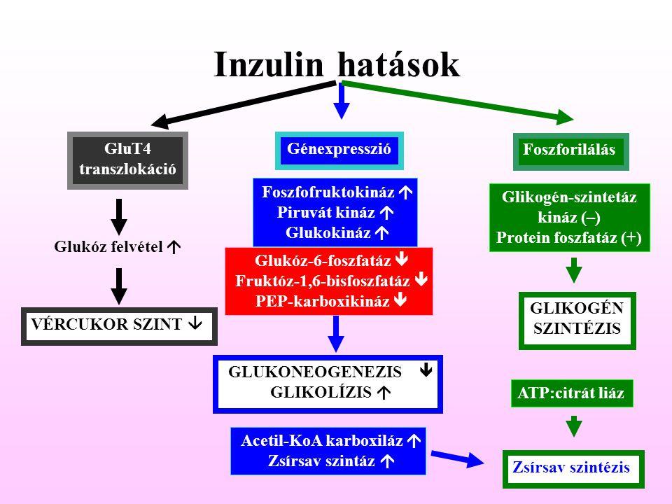 Inzulin hatások GluT4 transzlokáció Génexpresszió Foszforilálás Glukóz felvétel  VÉRCUKOR SZINT  Foszfofruktokináz  Piruvát kináz  Glukokináz  Gl