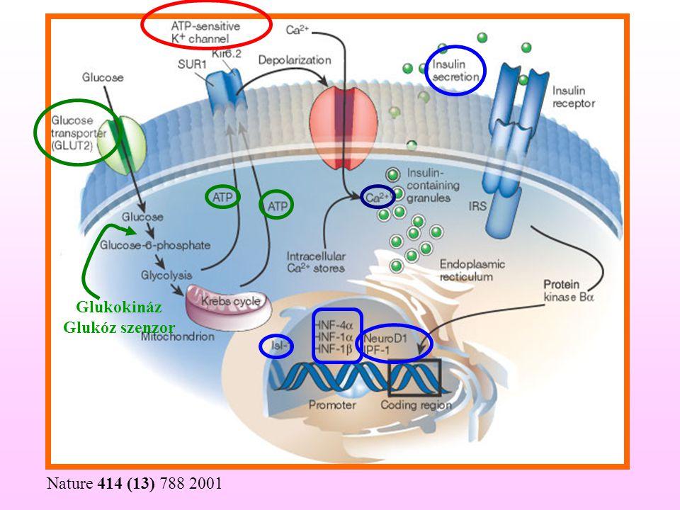 Nature 414 (13) 788 2001 Glukokináz Glukóz szenzor