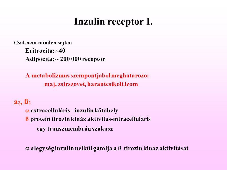 Inzulin receptor I. Csaknem minden sejten Eritrocita: ~40 Adipocita: ~ 200 000 receptor A metabolizmus szempontjabol meghatarozo: maj, zsirszovet, har