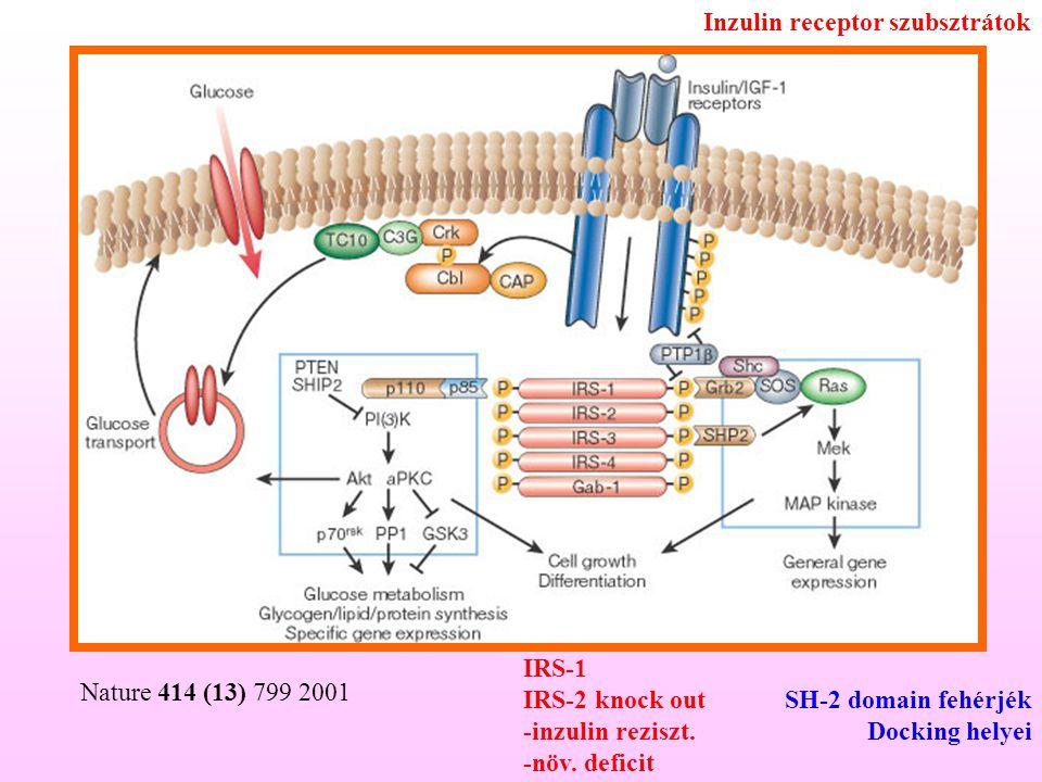 Nature 414 (13) 799 2001 Inzulin receptor szubsztrátok SH-2 domain fehérjék Docking helyei IRS-1 IRS-2 knock out -inzulin reziszt. -növ. deficit