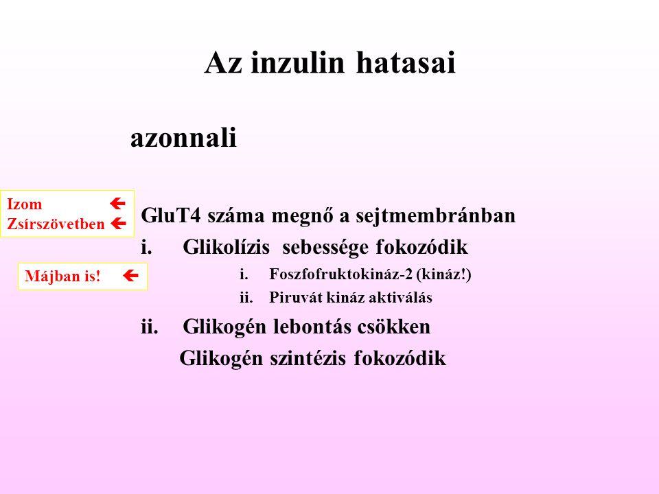 Az inzulin hatasai azonnali GluT4 száma megnő a sejtmembránban i.Glikolízis sebessége fokozódik i.Foszfofruktokináz-2 (kináz!) ii.Piruvát kináz aktivá