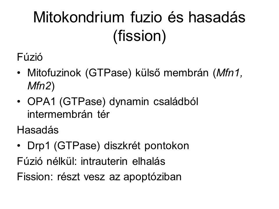 Mitokondrium fuzio és hasadás (fission) Fúzió Mitofuzinok (GTPase) külső membrán (Mfn1, Mfn2) OPA1 (GTPase) dynamin családból intermembrán tér Hasadás