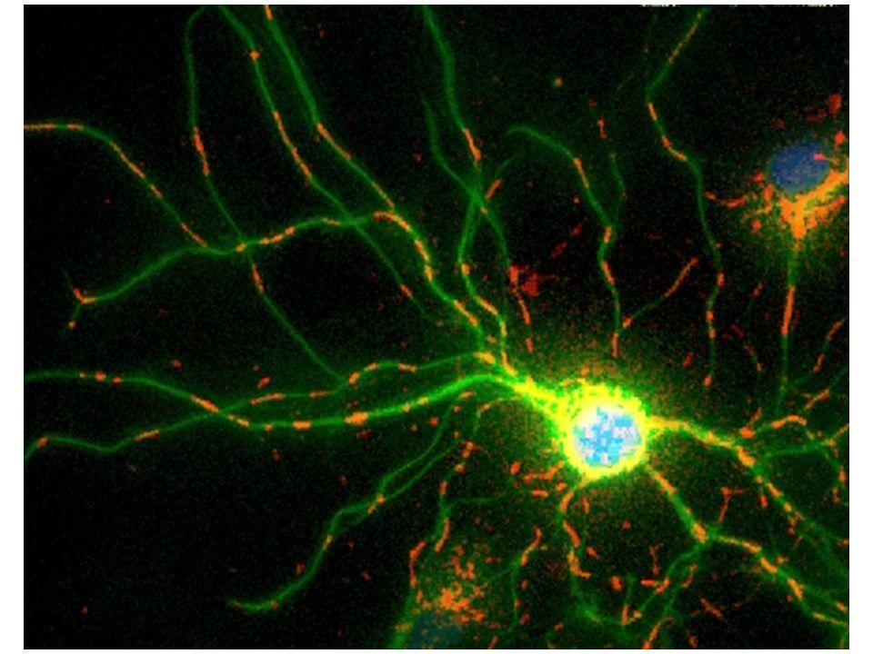 Mitokondriumok és öregedés Mitokondriumok és reaktív oxigénszármazékok (ROS)