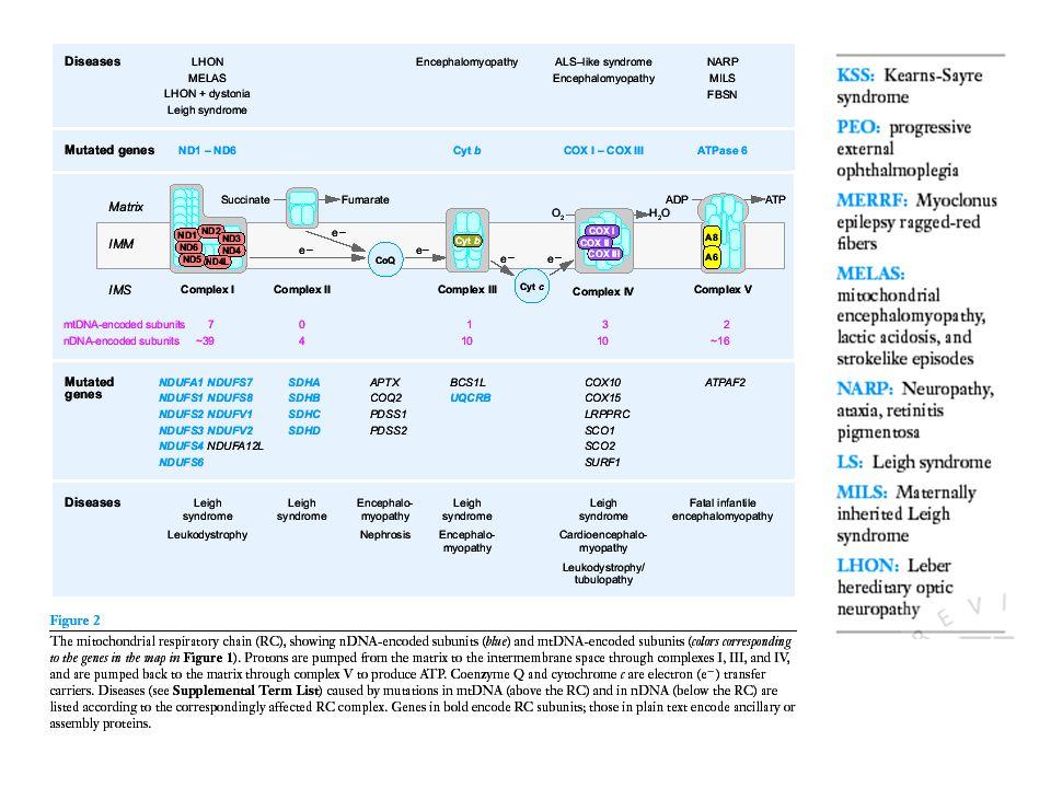 A mitokondriális genetika alapjai Homoplazmy, heteroplazmy Minimum kritikus mutációs terhelés (ált.