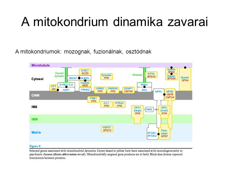 A mitokondrium dinamika zavarai A mitokondriumok: mozognak, fuzionálnak, osztódnak