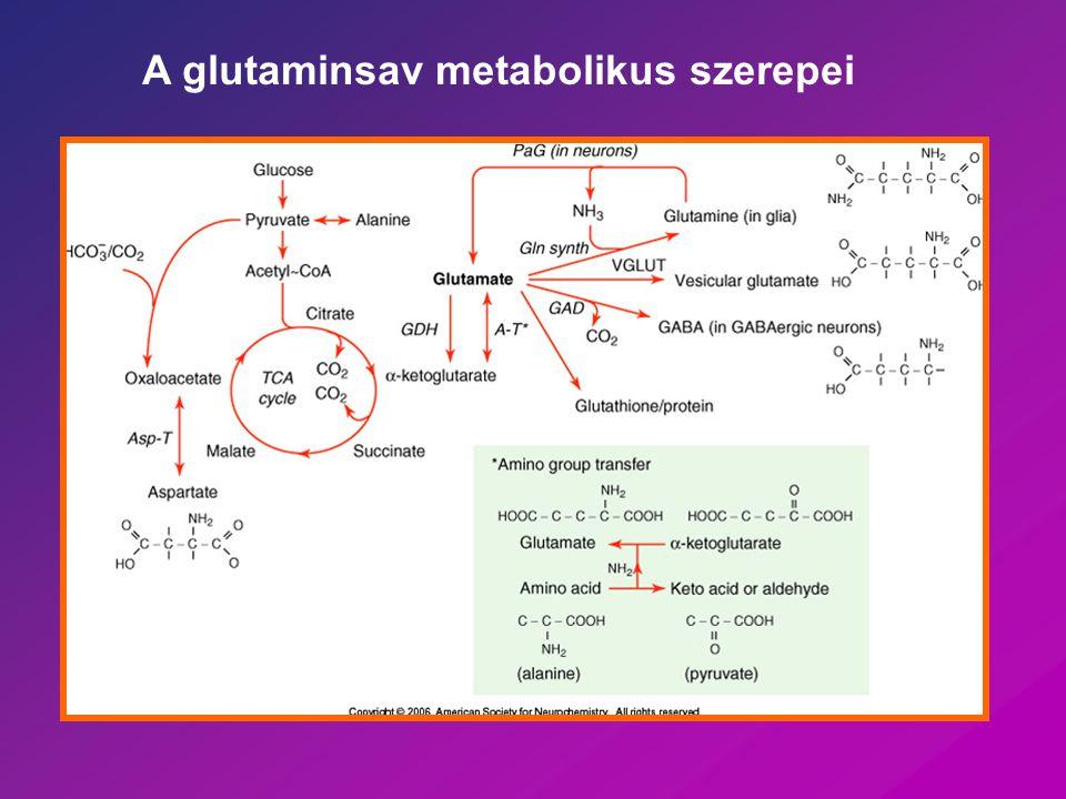 Glutamát (aszpartát) Legfontosabb excitatoros neurotranszmitterek Tanulás Neuronális fejlődés Epilepszia Ischemia Nem esszenciális aminosavak – vér-agy gáton nem jutnak át Metabolitok + neurotranszmitterek – külön pool