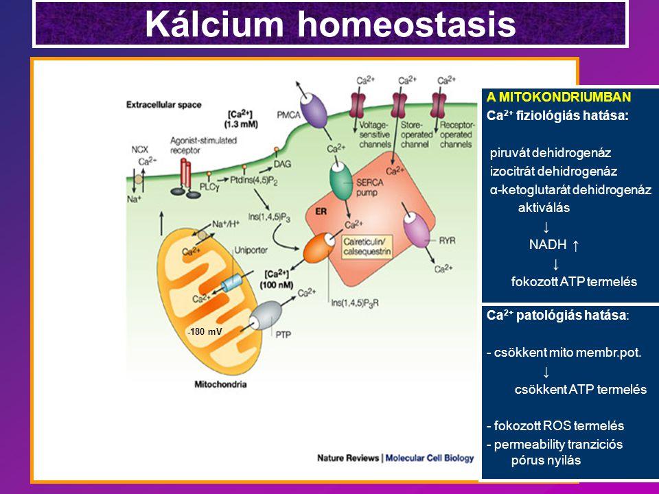 Kálcium homeostasis Ca 2+ patológiás hatása: - csökkent mito membr.pot. ↓ csökkent ATP termelés - fokozott ROS termelés - permeability tranziciós póru