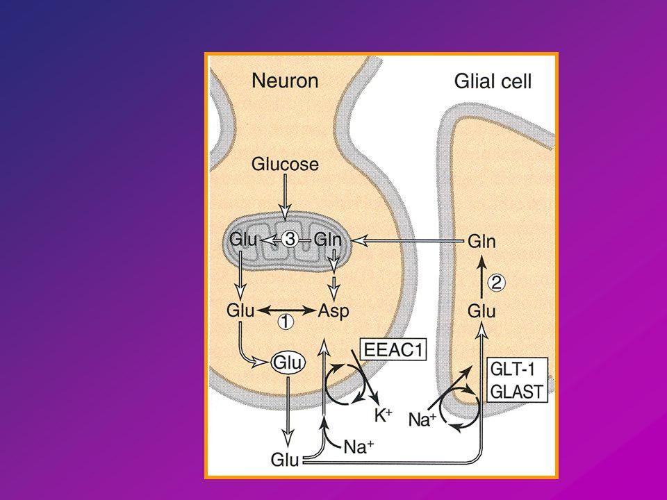 Többi izoforma neuronokban 1 < Na + influx - depolarizáció anion efflux - intracelluláris acidifikálás [Glu] szinapszis < 0,6 uM (10 mM agyban, 2-3 uM extracellularisan) Anoxia, tartós depolarizáció - fordított működés Glu felszabadulás Toxikus hatás Neurotranszmitter symportok