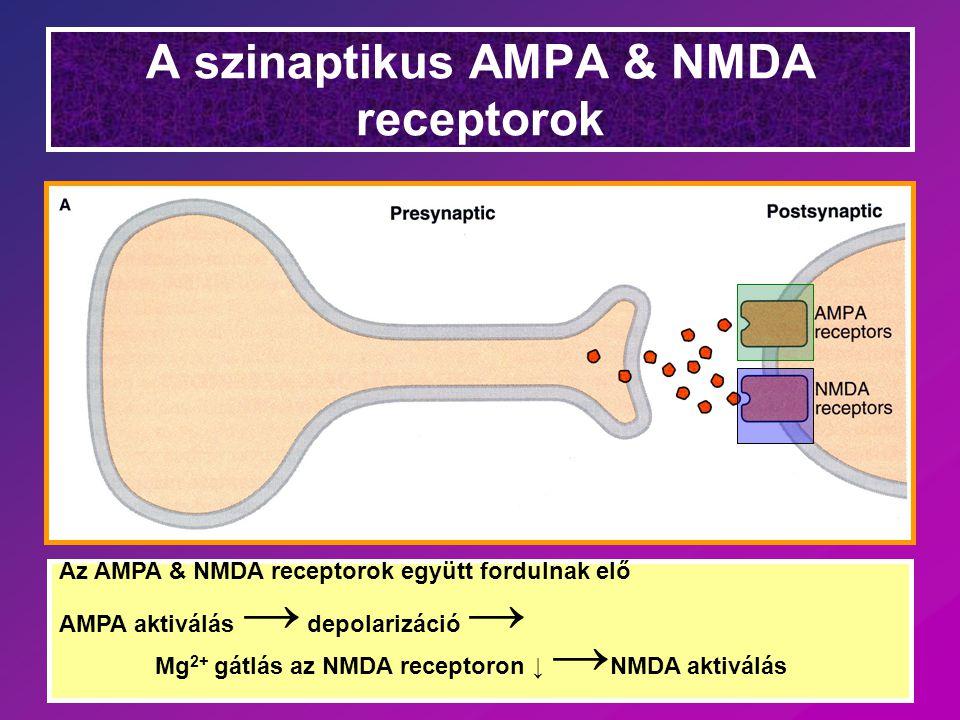 A szinaptikus AMPA & NMDA receptorok Az AMPA & NMDA receptorok együtt fordulnak elő AMPA aktiválás → depolarizáció → Mg 2+ gátlás az NMDA receptoron ↓