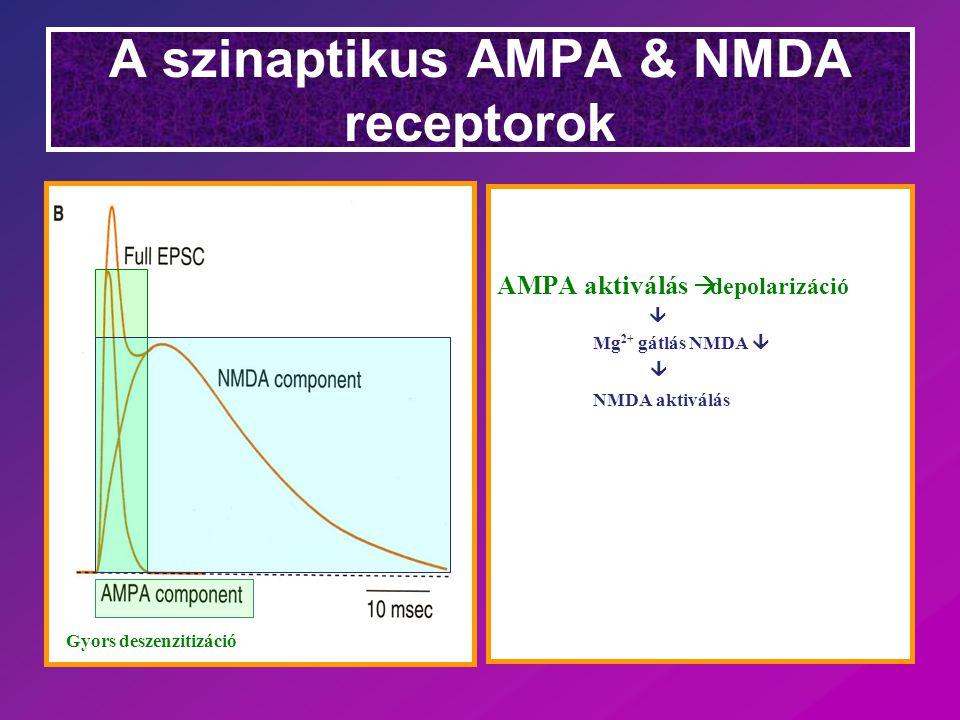 NMDA receptor (Glu & Asp receptor) Legszigorubban kontrollált receptor Aktiválnak: Glu es Gly ko-agonistak Poliaminok Gátolnak: Mg 2+ Zn 2+ H+H+ gátolják az ion-fluxust  Voltage-dependent block of the open channel  pH 6 komplett gátlás Ha van GluR2 subunit Nincs Ca 2+ permeabilitás